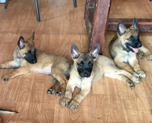 Chiot malinois : Petite Annonce chien