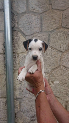 Chiots Jack Russell lignée chasse