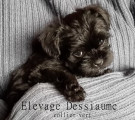 2 chiots Affenpinscher disponibles