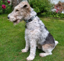 Donne Fox Terrier 8 ans