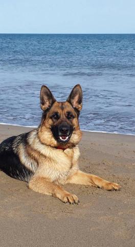 Vends chiots berger allemand petite annonce chien - Berger allemand gratuit ...