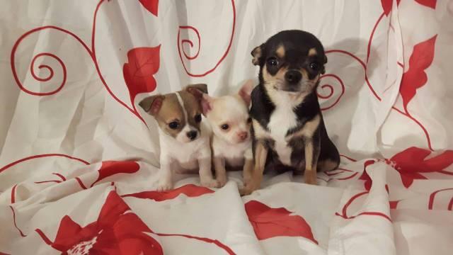 Chiot De Type Chihuahua A Vendre Petite Annonce Chien