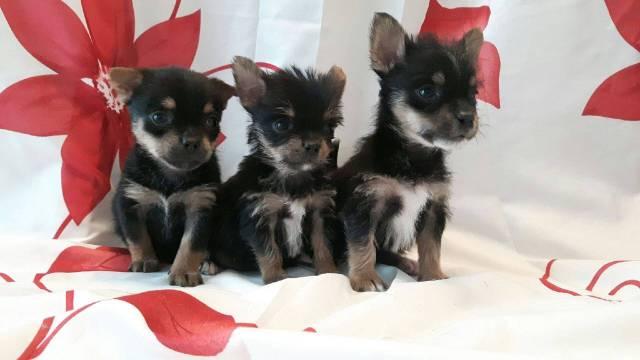 Chiots Croises Yorkshire Chihuahua Petite Annonce Chien