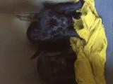 Labradors noirs mâles LOF