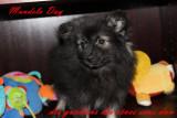 disponible  superbes petits chiots spitz allemand gris loup LOF