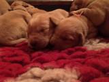 Labrador Retriever pour compagnie, chasse ou compétition.