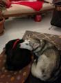 Femelle Husky