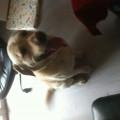Labrador 7 ans