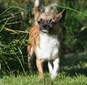Chihuahua LOF poil court à vendre