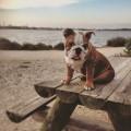 Bulldog anglais pour saillie