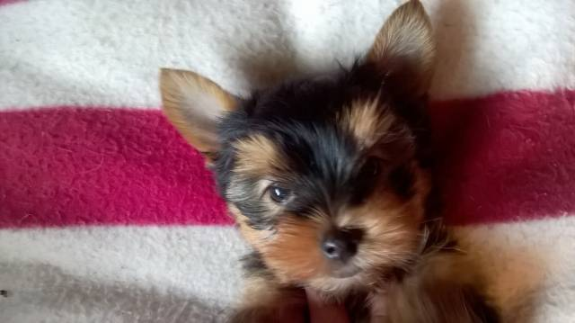 Chiot Yorkshire Terrier Toy Lof Lignee De Champions Petite Annonce Chien