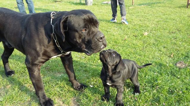 Chiot Cane Corso : Petite Annonce chien