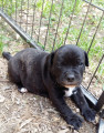 Chiots Staffordshire Bull Terrier