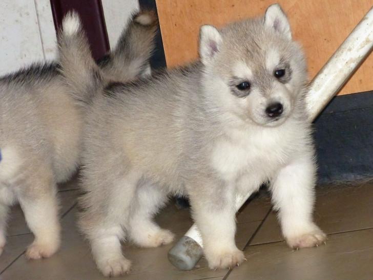 a vendre chiot husky siberien losh petite annonce chien. Black Bedroom Furniture Sets. Home Design Ideas