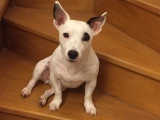 Don Jack Russel 4 ans