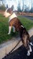 Recherche mâle Bull-terrier LOF pour saillie