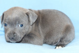 Magnifiques Staffordshire Bull Terrier