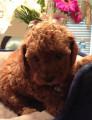 adorable caniche miniature