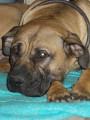 A réserver Dogues des Canaries « Dogo Canario » LOF