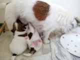 Jack Russell Terriers du Blason de l'Ourse