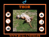 Bull Terrier Mâle