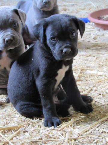 Chiot Cane Corso, chien de cour italien : Petite Annonce chien