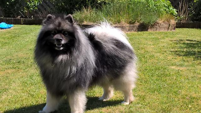 keeshoond ( spitz loup) 3ans a vendre : Petite Annonce chien