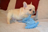 male and female french bulldog puppies for sale