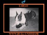 Largo, Bull Terrier à adopter