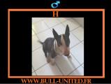 H, Bull Terrier, recherche en urgence une famille
