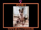 Indila, jeune Bull Terrier à adopter