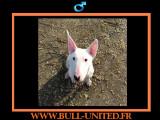 Ghost, Bull Terrier de 13 mois
