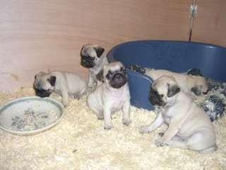 Vends chiots Carlins (Pugs) très câlins