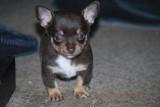 2 adorables chiots Chihuahua chocolat à vendre