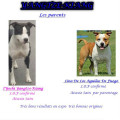 A Réserver 8 chiots Américan Staffordshire Terrier LOF