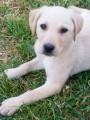 Vend chiot Labrador
