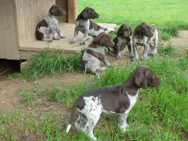 Braques Allemands à vendre : Petite Annonce chien