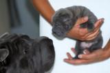 Shar-Peïs femelles brush LOF disponibles après le 5 août