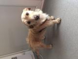 Donne un chien Griffon fauve de Bretagne mâle