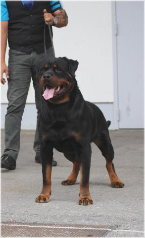 Male Rottweiler multi champion