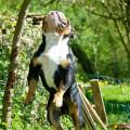 Chiot New English Bulldog