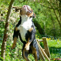 Mâle new english bulldog
