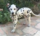 Vend chiot Dalmatien LOF