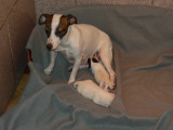 Vend chiot Jack Russell Terrier
