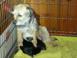 Vend chiots Border Terrier