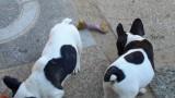 2 magnifiques chiots Bouledogues Français à vendre