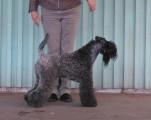 Chiots Kerry Blue Terrier