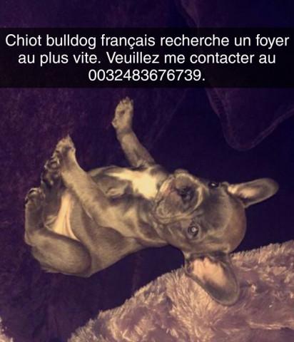 Chiot Bulldog gris