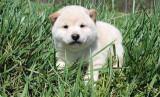 1 chiot d'apparence Shiba Inu à vendre