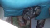 Vend 2 belles femelles Sptiz Allemands nains charbonnés
